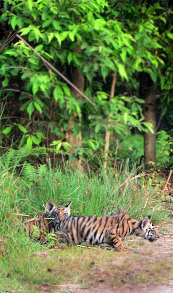 Kankatti Tigress With Her Cubs -Bandhavgarh National Park