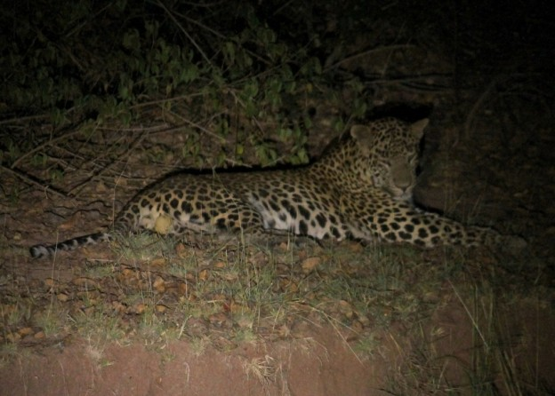 Leopards in courtship rituals spotted at Satpura