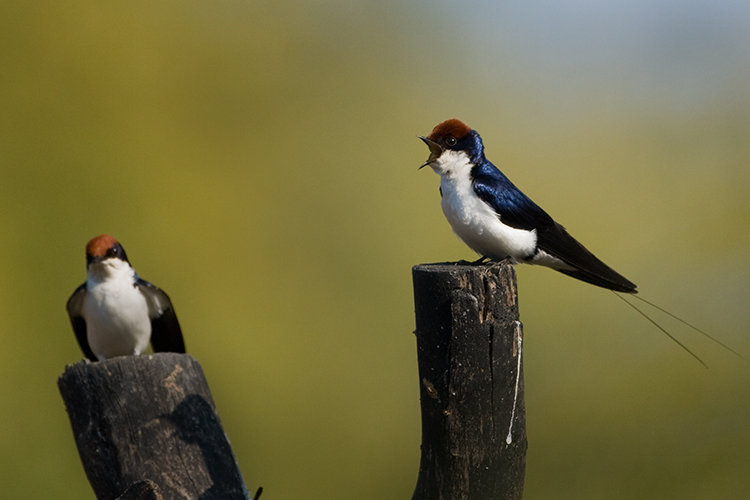 pair ofWire tailed swallow- bird of satpura national park