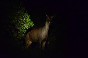 Sāmbhar Deer