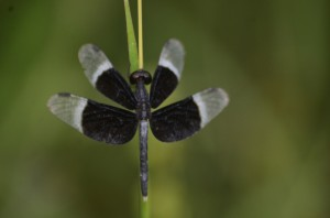 Pied-paddy Skimmer Male