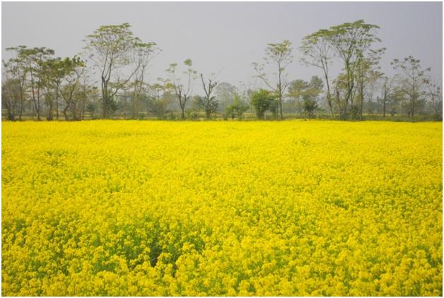Long stretch of seasonal Mustard- winter crop