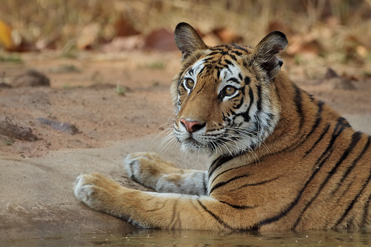 Tiger Sighting in Summers - Banahavgarh National Park