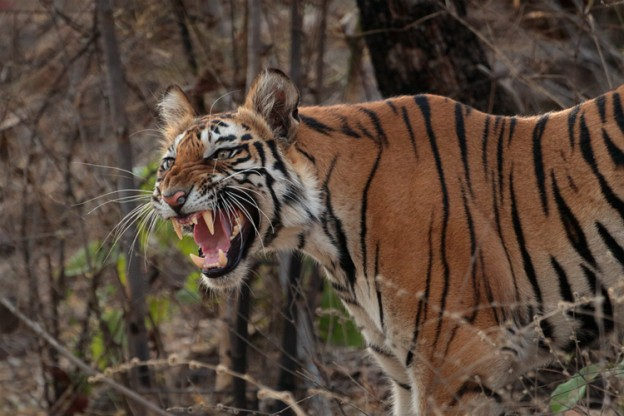 Weapons in the Wild: The Jaws of a Tiger