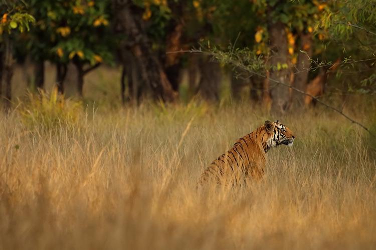 Tiger at Bandhavgarh
