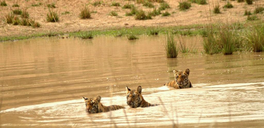 Sukhi Pathia Cubs