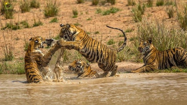 Season in the Wild at Bandhavgarh and Kanha