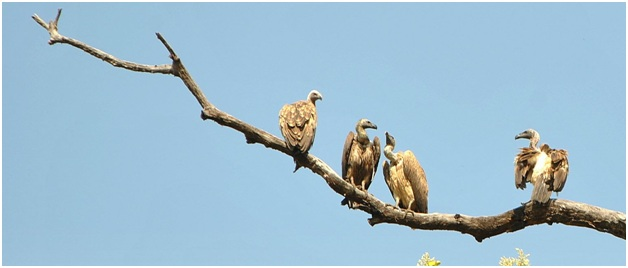 Vultures of India