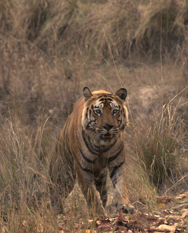 Tigers of Bandhavgarh National Park