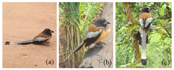 (a) Left alone in dry and open area; (b) Flew from ground, sat on the log; (c) Flew away and perched on the tree branch