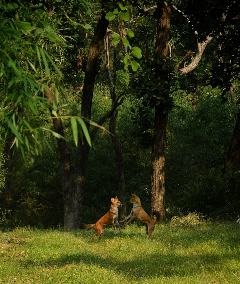 Wild Dog Pair