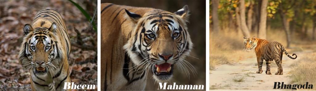 Tigers of Bandhavgarh