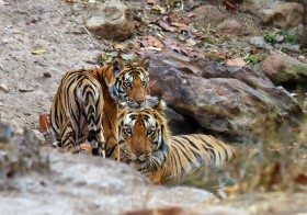 Father and Cubs : Bandhavgarh National Park