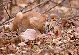 Caracal: The Covert Cat of Central India