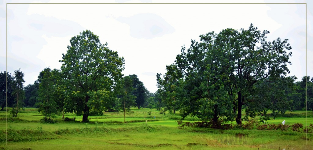 Mahua: An Emblematic Tree of the Jungles of Central India