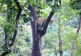 Satpura – The Land of Leaping Leopards