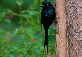 Greater Racket Tailed Drongo : Birds of Central India