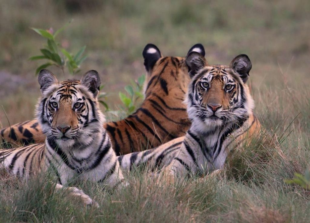 Spotty's Cubs in Bandhavgarh Tiger Reserve