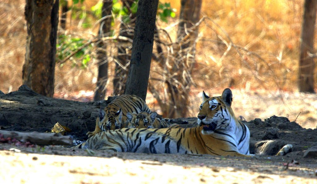 Collarwali with her 7th litter cubs at Pench Tiger Reserve
