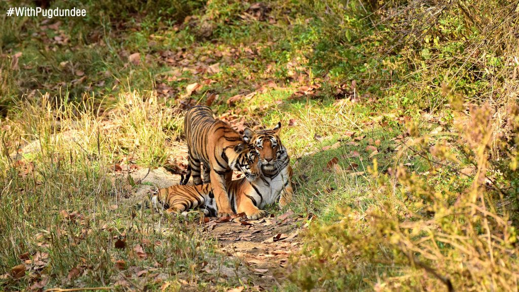 Choti Mada with her cubs at Kanha Tiger Reserve