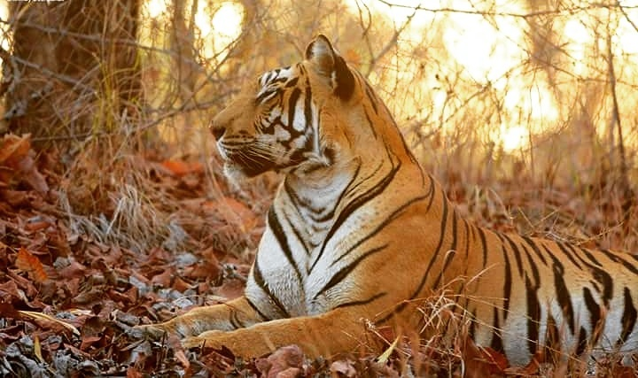 Tigress in Satpura Tiger Reserve