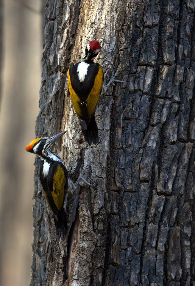 Interesting Facts About Woodpeckers - Birds in Kanha