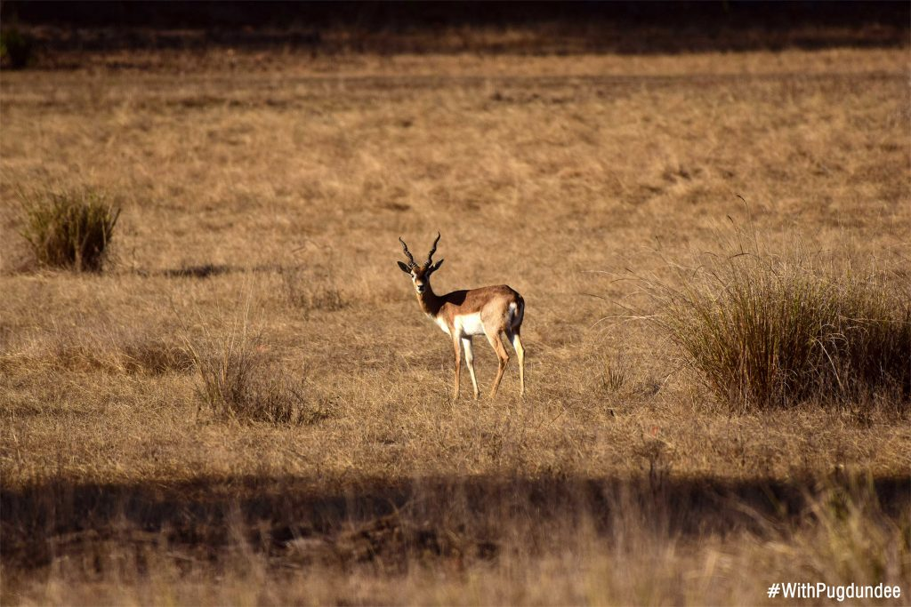 Blackbuck sighted at Kanha National Park