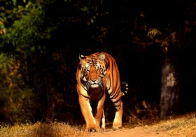 Tigers of Kanha National Park : From the Diary of a Naturalist
