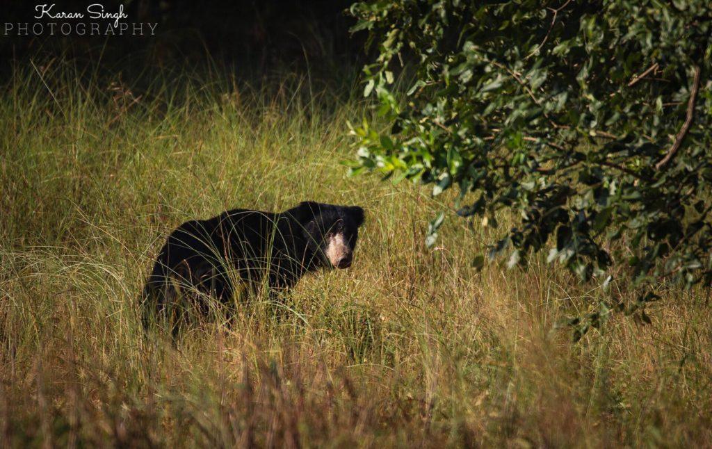 Sloth Bear- bandhavgarh - Karan