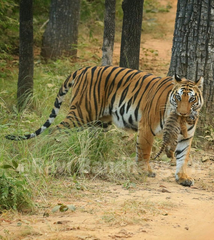 Bandhavgarh National Park- Spotty with her cub