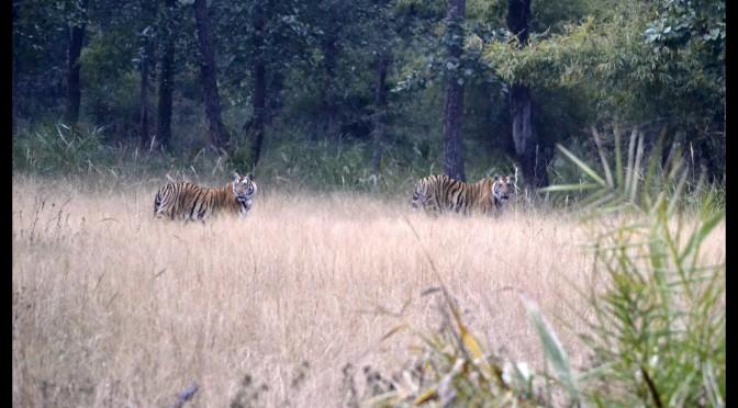Mahamanwali Brothers at Bandhavgarh National Park