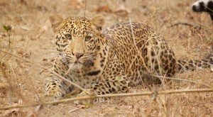 Leopard at Kanha