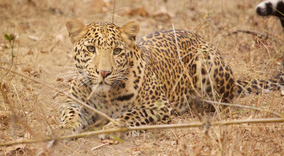 Pugdundee-safaris-CONSERVATION-&-SUSTAINABILITY-Wildlife-Estimation-in-Kanha-National-Park