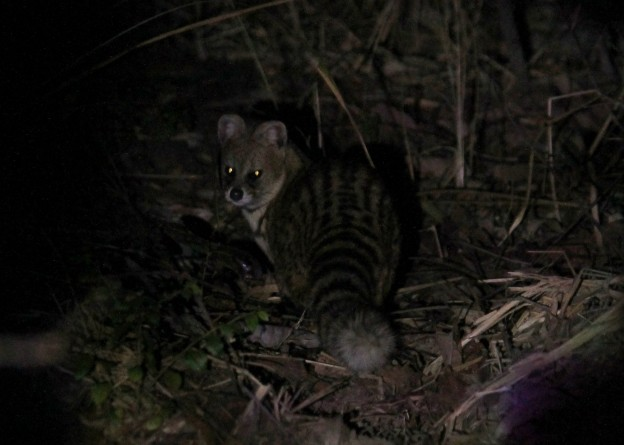 A rare glimpse of Small Indian Civet