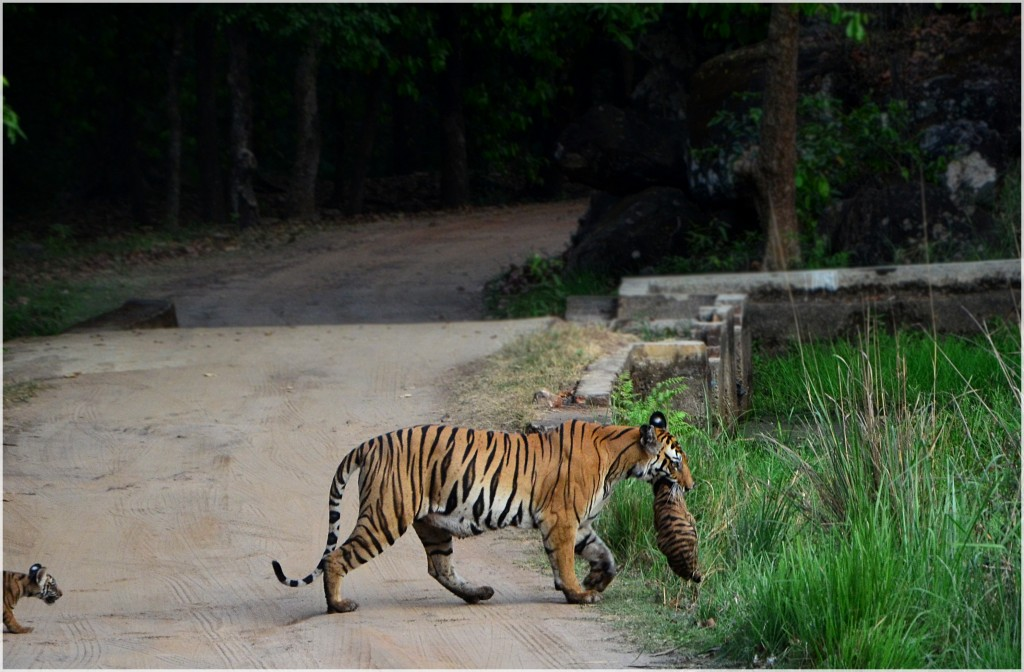 Kankatti Tigress With Her Cubs -Bandhavgarh National Park