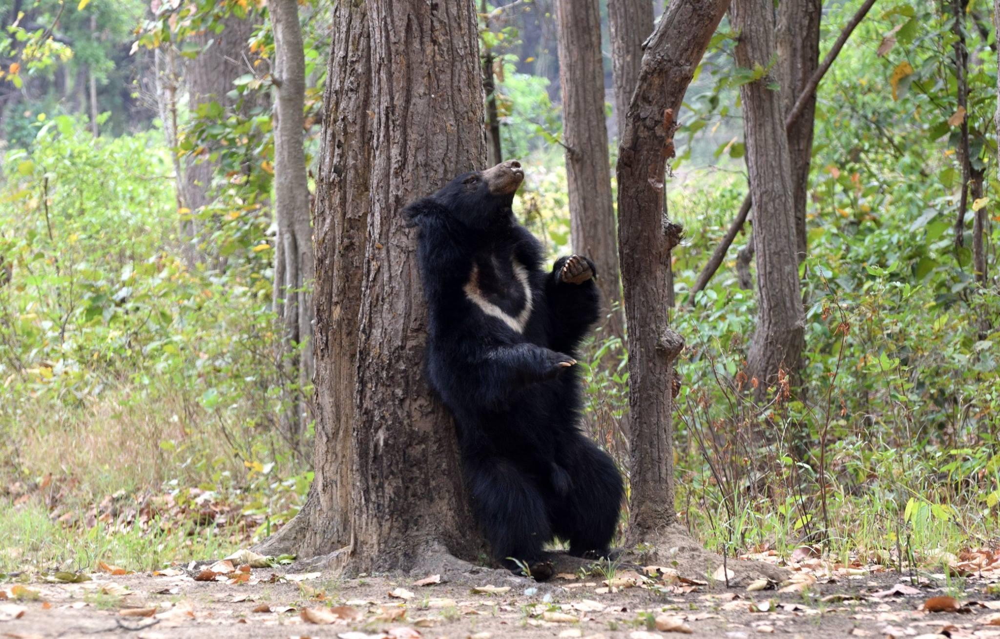 Sloth Bear at Kanha