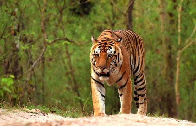 The Tigers of Kanha National Park