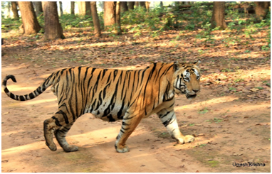 Munna Tiger in Kanha National Park