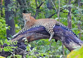 Finding Leopards in the Tiger Country