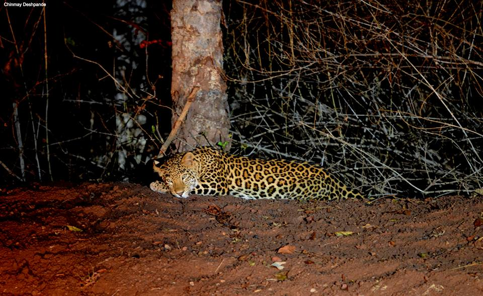 Leopard Night Safari