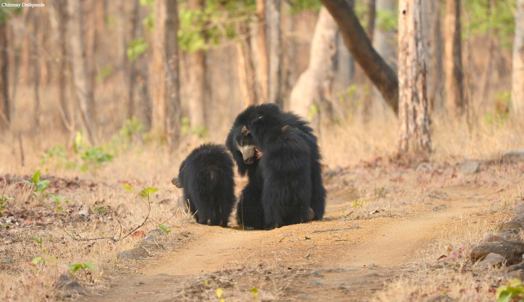 Sloth Bear Family