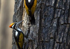 Interesting Facts About Woodpeckers – Birds in Kanha