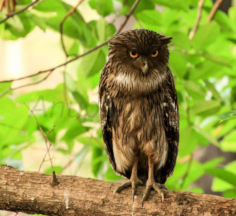 Brown Fish Owl- Star Birds