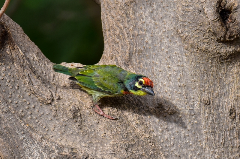 Coppersmith Barbet- Star Birds
