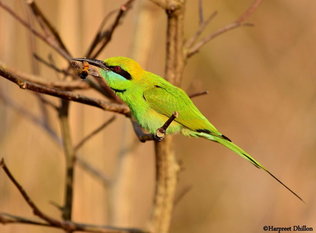 Green Bee Eater- Star Birds