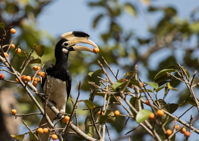 Malabar Pied Hornbill- Star Birds