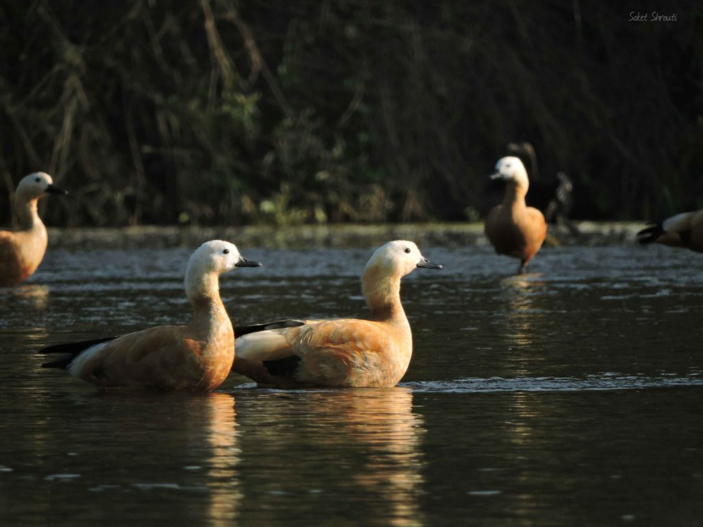 Rudy Shelduck- Star Birds