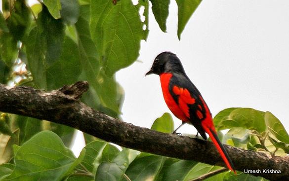 Scarlet Minivet- Star Birds