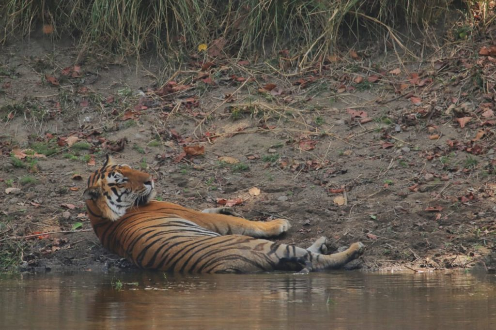 pugdundee-safaris-travelogue-kanha-diaries-tiger