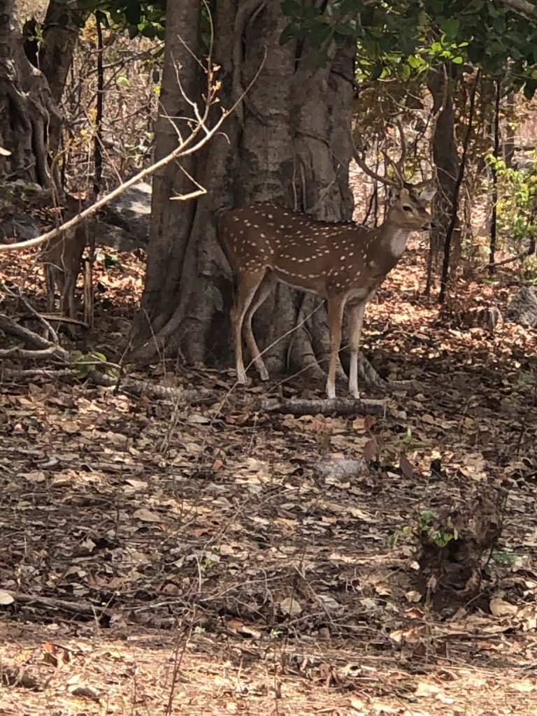 pugdundee-safaris-travelogue-kanha-diaries-spotteddeer